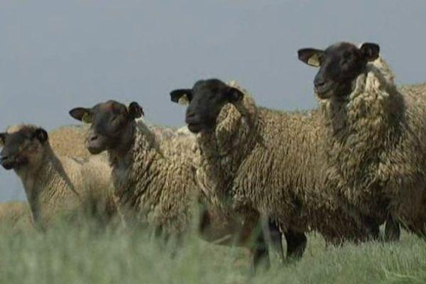 Les moutons de la Baie de Somme