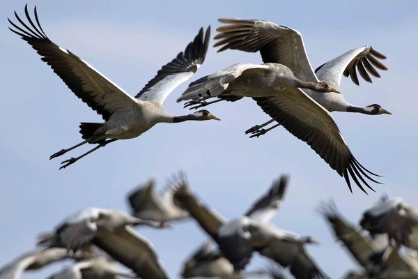 Plus de 89.000 grues cendrées ont fait halte au lac du Der Chantecop ce week-end