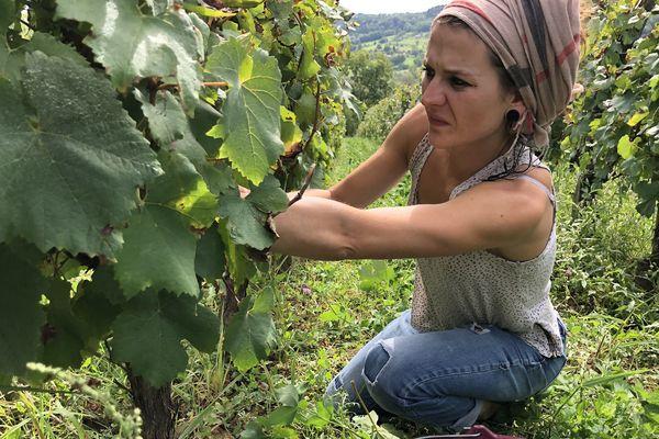10 vendangeurs se partagent les vignes du domaine Pignier à Montaigu.