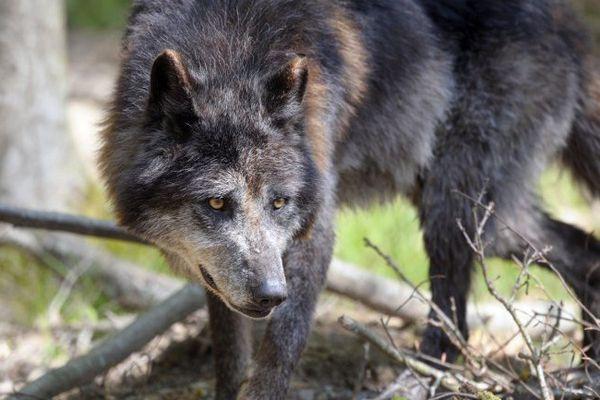 Un loup dans le parc du Gévaudan en Lozère