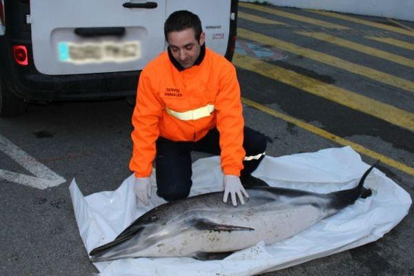 Le dauphin a été repêché ce jeudi à 16h30 par les équipes  du Service animalier Opale Capture, entre Camiers et Dannesv dans le Pas-de-Calais