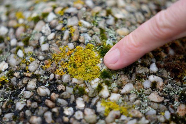 Les lichens peuvent être discrets, insignfiants voire presque invisibles. Ils constituent pourtant une réserve méconnue de molécules au potentiel médical. Fragiles ou très résistants à un environnement, ils sont les sentinelles de la qualité de l'air et des indicateurs des changements climatiques.