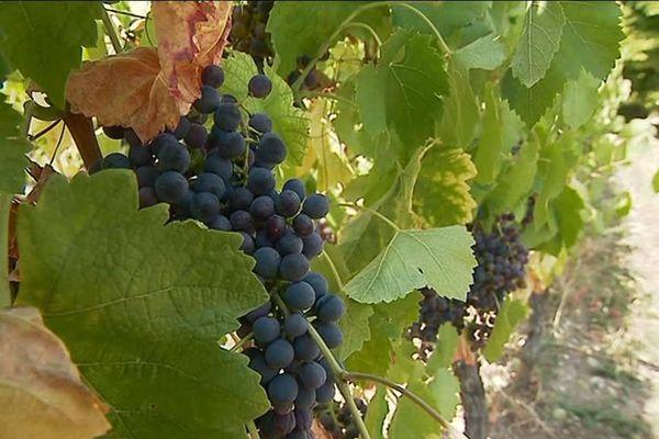 En Savoie, le raisin arrivera à maturité à la fin du mois. Les vendanges pourront alors débuter.