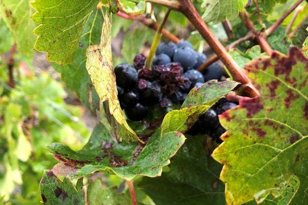 En viticulture dite conventionnelle, il y a une quinzaine de traitements à base de produits de synthèse par an (herbicides, fongicides, insecticides), entre le 20 mars et 10 septembre selon la météo.