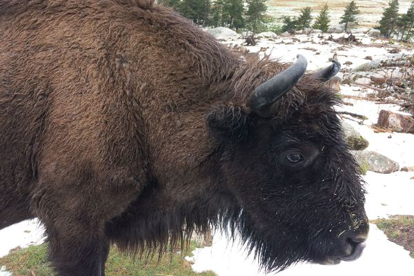 Jeune bison de la réserve de Sainte-Eulalie-en-Margeride (Lozère)