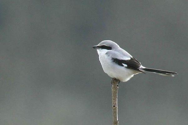 ...Le milan royal ! Nouvelle photo : Elle passe souvent inaperçue. C'est un des oiseaux les plus menacés de disparition en Franche-Comté, comme dans toute la France. C'est...