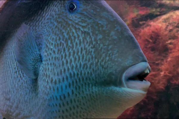 Le baliste, ici filmé à l'aquarium de Vannes, est le principal suspects de ces attaques maritimes.