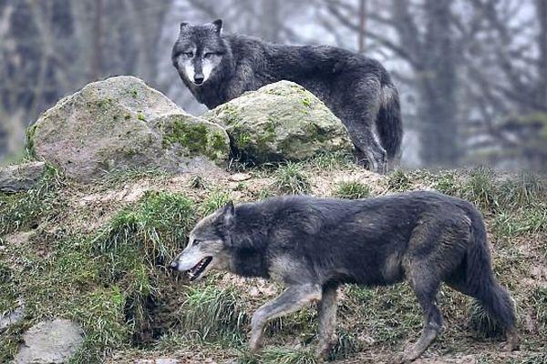 Les loups du parc de l'Auxois au cœur de l'hiver.