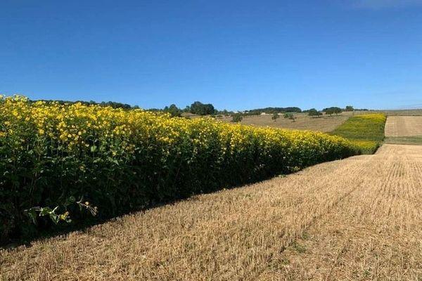 160 ha de silphie déjà plantés  à Dompaire et Uxegney dans les Vosges