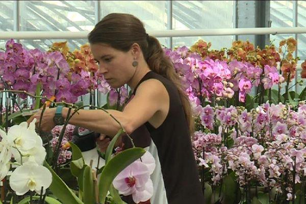 Des orchidées en pension à Boissy-Saint-Léger, dans le Val-de-Marne.