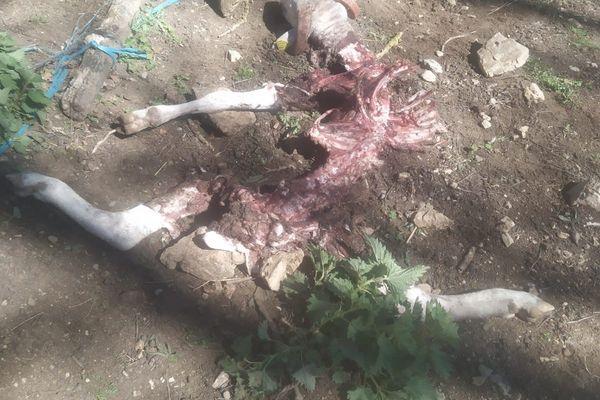 Les restes de l'agneau attaqué dans la bergerie.