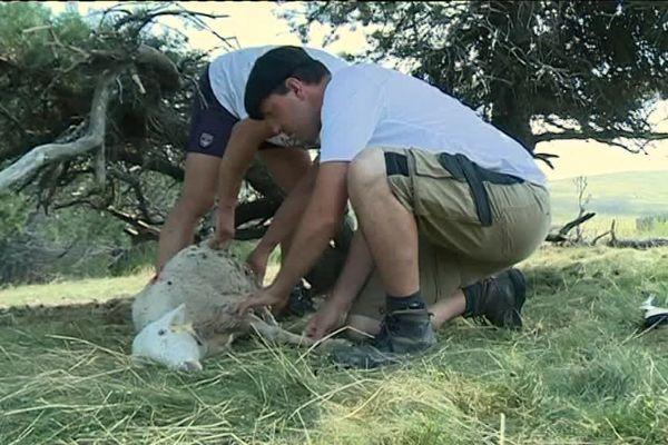 Le loup a fait au moins deux victimes sur les hauteurs du Mont-Lozère - août 2018