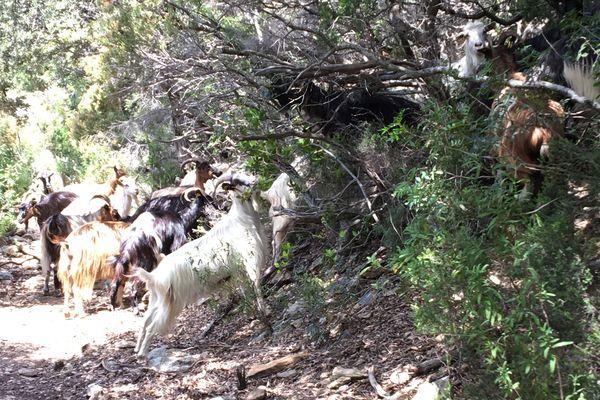 Un troupeau de chèvres croisé sur le sentier Nonza-Olmeta