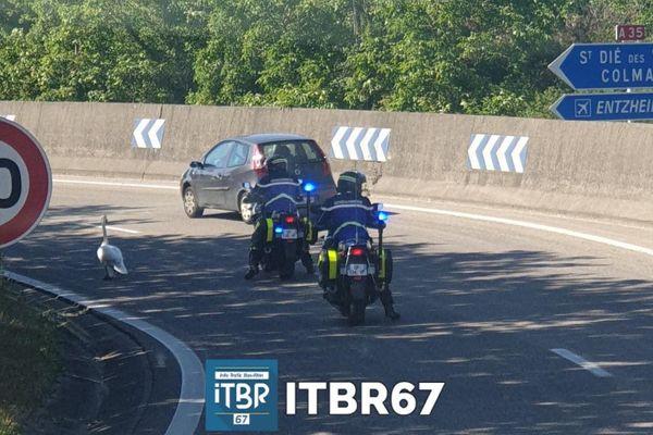 Un cygne escorté par la police sur l'autoroute qui contourne Strasbourg ce lundi 18 mai