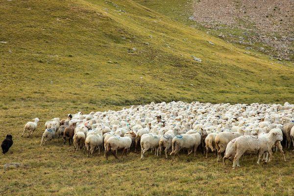 Un chien de berger ne peut suffire à protéger seul tout un troupeau.