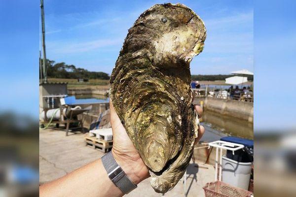 Georgette, l'huître géante de 1,445 kilos, a été découverte à Talmont-Saint-Hilaire en Vendée