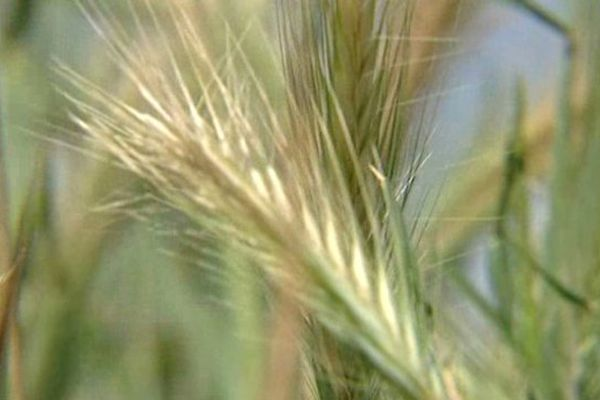 Les épis de blés désséchés peinent à se développer.