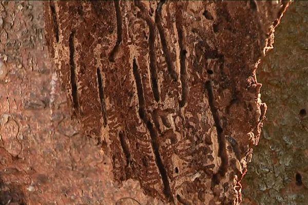 Les scolytes se nichent sous l'écorce des épicéas, et se nourrissent de leur sève