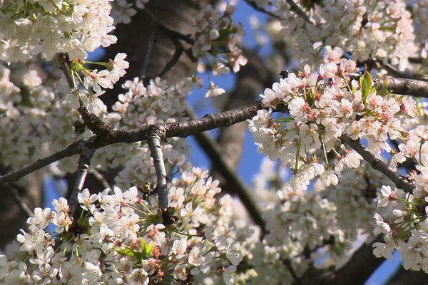 Les cerisiers sont en fleurs en Franche-Comté.