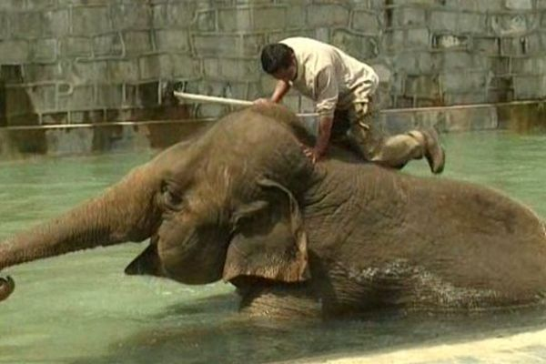 Parmi les pensionnaires du parc zoologique Pairi Dayza, 8 éléphants