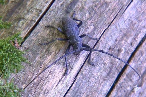 Capricorne du chêne ou grand capricorne. Sans les antennes il peut mesurer jusqu'à 10 cm.
