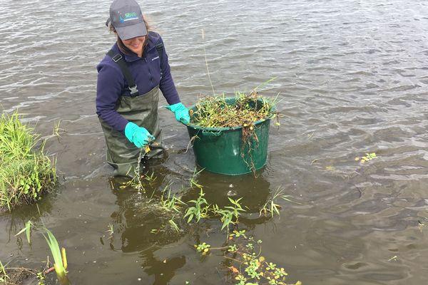 Chaque année, en juin et juillet, des saisonniers sont recrutés par le Syndicat du Bassin Versant du Brivet pour arracher la jussie le long des cours d'eau. Un travail en plein air qui commence de bonne heure et s'effectue par tous les temps.