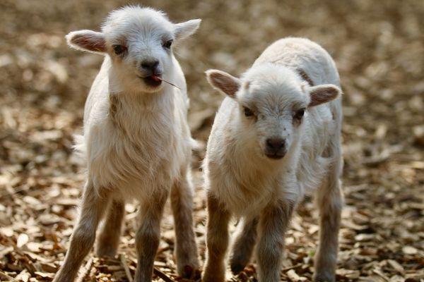 Bébés agneaux