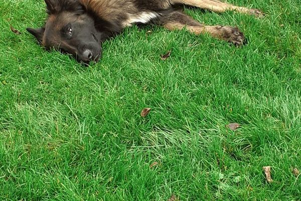 Malko, chien berger belge disparu en janvier 2021 à Audun-le-Roman (Meurthe-et-Moselle).