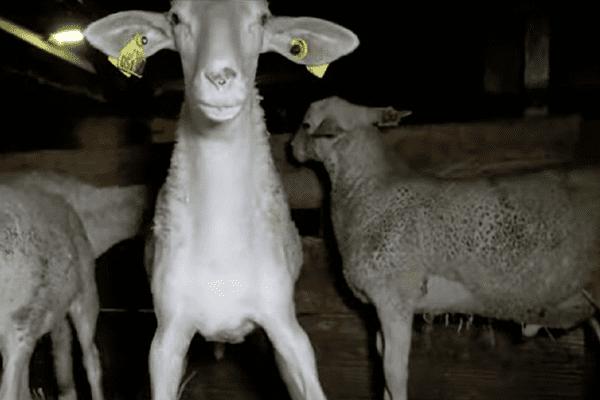 Des agneaux dans un élevage industriel.