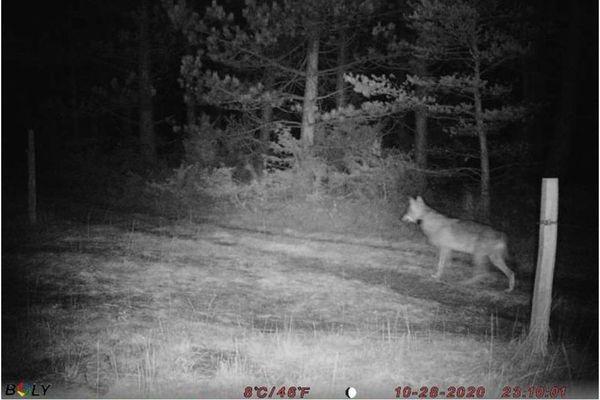 Loup équipé d'un GPS photographié le 28 octobre dernier dans la Drôme.