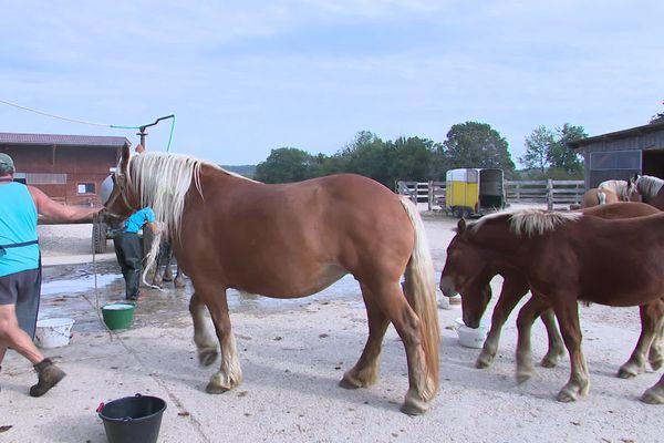 Avant le concours, les chevaux comtois sont lavés, bichonnés.