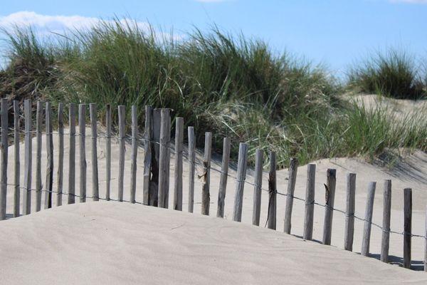 """Les barrières de protection de la dune """"blanche"""" et derrière sa végétation composée d'Ammophila arenaria"""