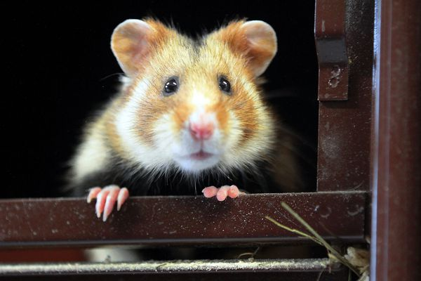 Le grand hamster d'Alsace est une espèce en danger critique d'extinction.