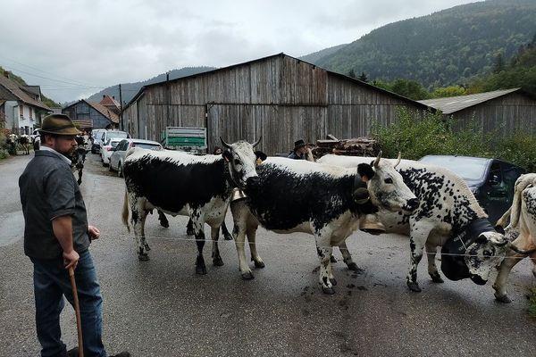 Arrivée du troupeau  à la ferme de Mittlach.