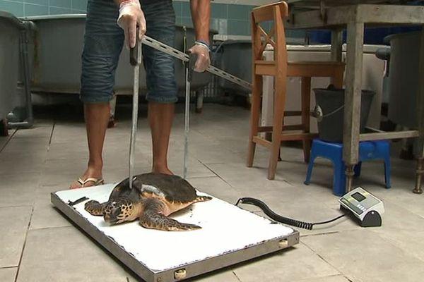 Derniers examens avant le retour en mer pour Thalassa, tortue marine Caouanne âgée de 4 ans.