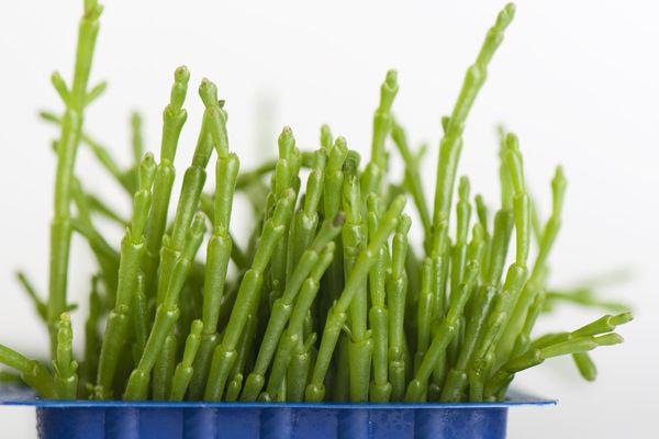 La salicorne peut être consommée en légumes ou en condiments.