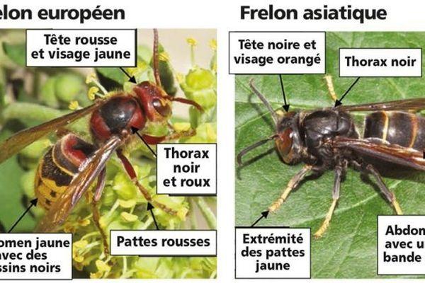 Le frelon européen et le frelon asiatique, à ne pas confondre !
