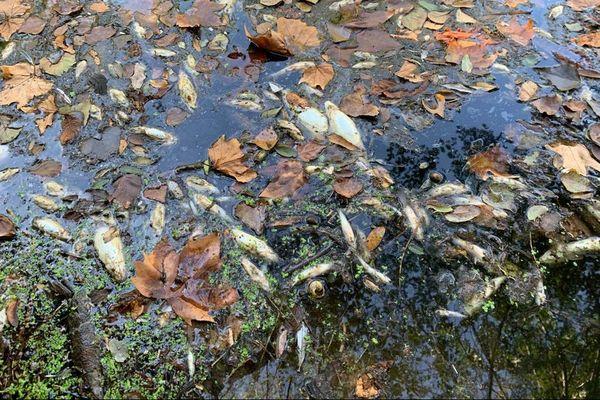 Des kilos de poissons morts retrouvés ce week-end dans cette rivière Fresquel dan sl'Aude. Les rejets d'une cave viticole mis en cause.