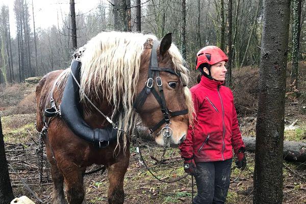L'épidémie concerne toutes les plantations d'épicéa. Le débusquage consiste à déplacer, à l'aide d'un cheval, les bois abattus.