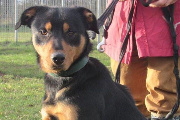 Inca, un chien croisé Beauceron a été poignardé dans les refuge de la SPA à Verson