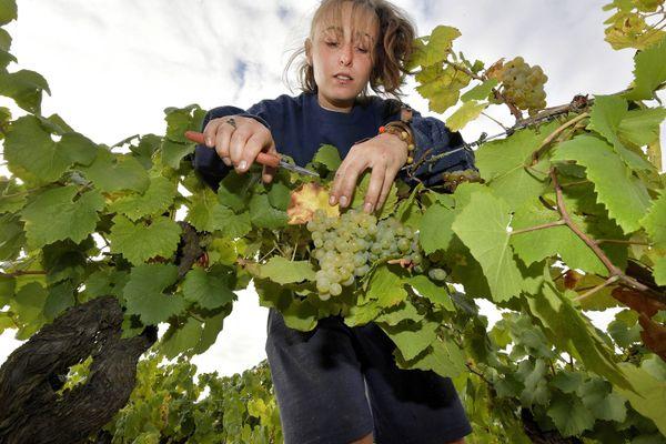 C'est exceptionnel, le ban des vendanges a été fixé au 25 août cette année 2020 dans le vignoble de Nantes