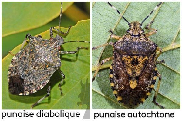 Punaise diabolique vs punaise autochtone