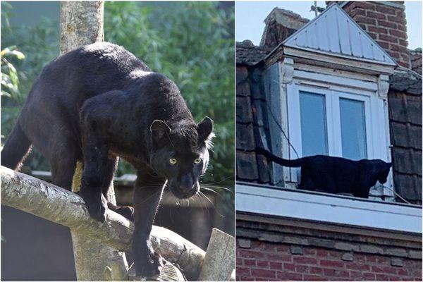 La panthère noire d'Armentières se trouverait dans un sanctuaire pour grands félins dans le nord des Pays-Bas depuis janvier dernier.
