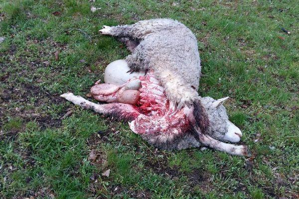 """Un exploitant de Kruth a découvert l'un de ses moutons """"éventré"""", vendredi 3 mai."""