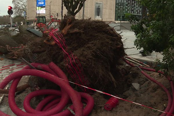 L'arbre qui a été déraciné près de la cité des Congrès d'Angers.