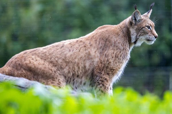 Un lynx photographié dans un zoo allemand.