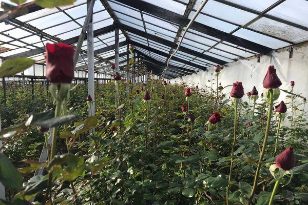 A Antibes, capitale de la rose ils ne sont plus que cinq à en cultiver.