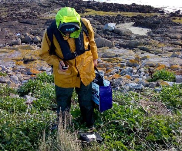 Les premiers pièges ont été déposés. Plusieurs centaines vont être dispersés sur l'archipel de Chausey.