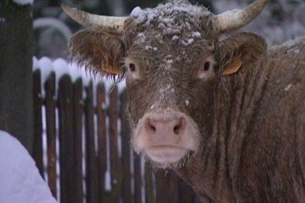 Les vaches de Jean-Noël ont retrouvé un toit