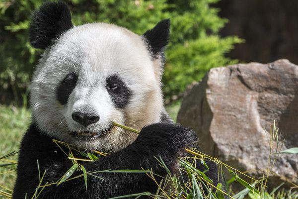 Le zooparc de Beauval abrite trois pandas géants.